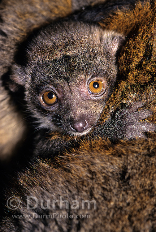An endangered mongoose lemur (Lemur mongoz) peers from the protective pelage of its mother.