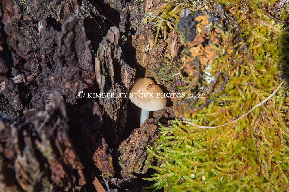 Mycena austrororida growing in a log near Interlaken in Tasmania's highlands.