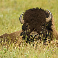 large buffalo bull in grass