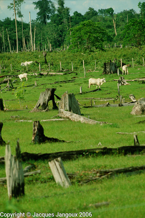 Cattle grazing on cleared Tropical Rain Forest land with tree stumps, Amazon region, Para, Brazil