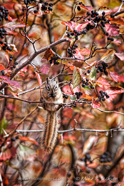 Chipmonk or squirrel on a branch feeding on black-Hawthorne berries in fall. The critter blends in with the foliage.
