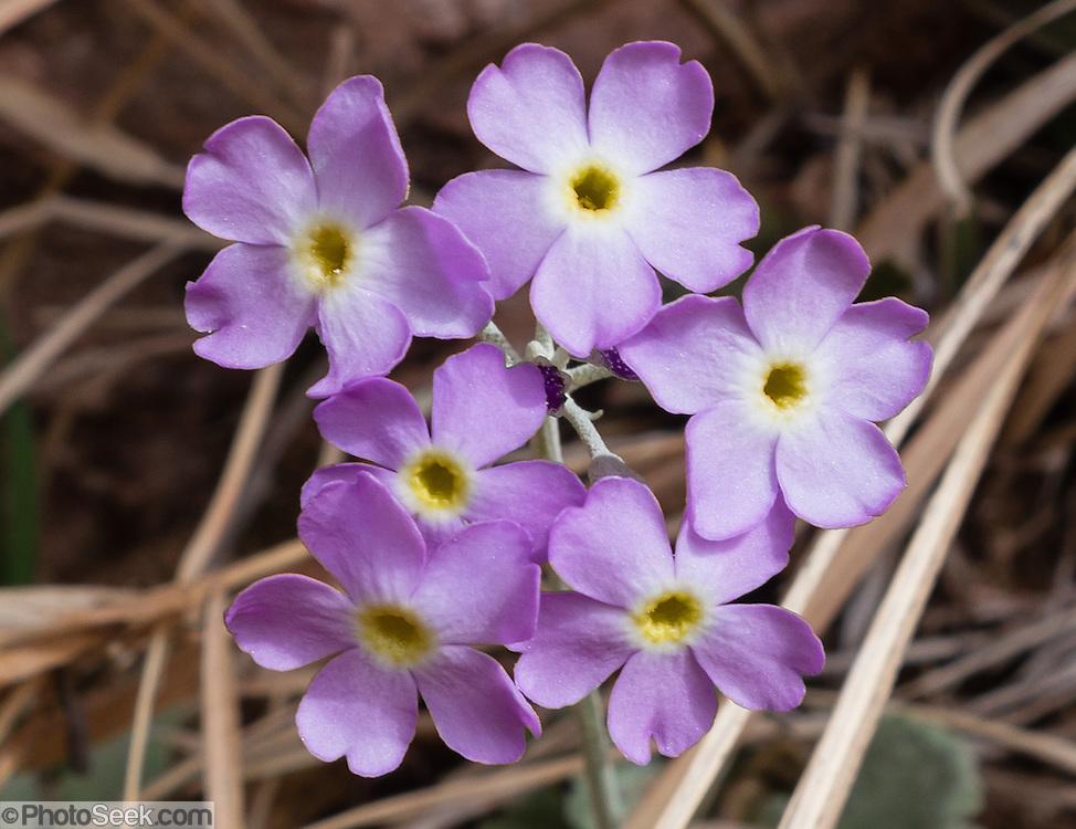 Purple flower, Negro Bill Canyon, on BLM federal land near Moab, Utah, USA.