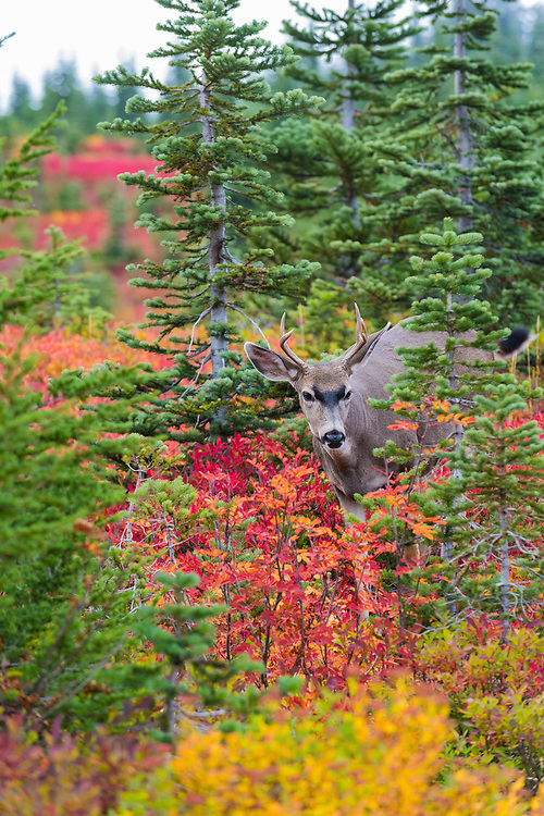 Male mule deer walking through the grasses and trees at Paradise, Mt. Rainier National Park, Washington.