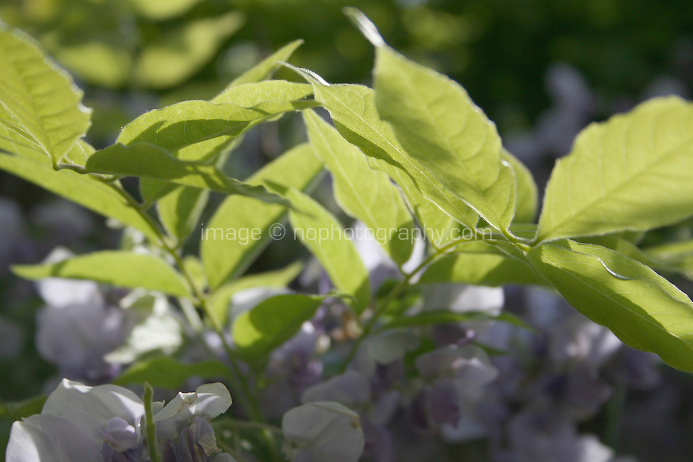 Wisteria plant in flower