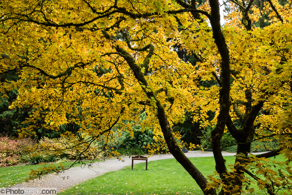 Japanese Maple tree leaves glow yellow in autumn in the J.A. Witt Winter Garden at UW Arboretum. Washington Park Arboretum is a joint project of the University of Washington, the Seattle Department of Parks and Recreation, and the nonprofit Arboretum Foundation, in the State of Washington, USA. Photographed October 22, 2013.