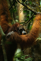 An orangutan (Pongo pygmaeus) named Rocky hangs on a branch after being wounded in the shoulder during a fight with another male orangutan.