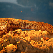 The tail of a lizard laying on top of a log inside its cage under a heated lamp displayed at MOC Reptiles shop in North Miami, Florida.