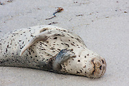 A young harbor seal naps on the beach, soaking in the sun