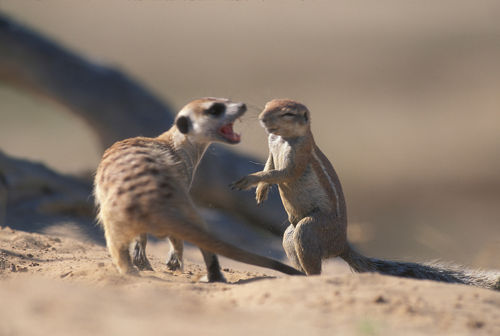 South Africa, Kgalagadi Transfrontier Park, Meerkat (Suricate suricatta) fights  Cape Ground Squirrel (Xerus inauris)