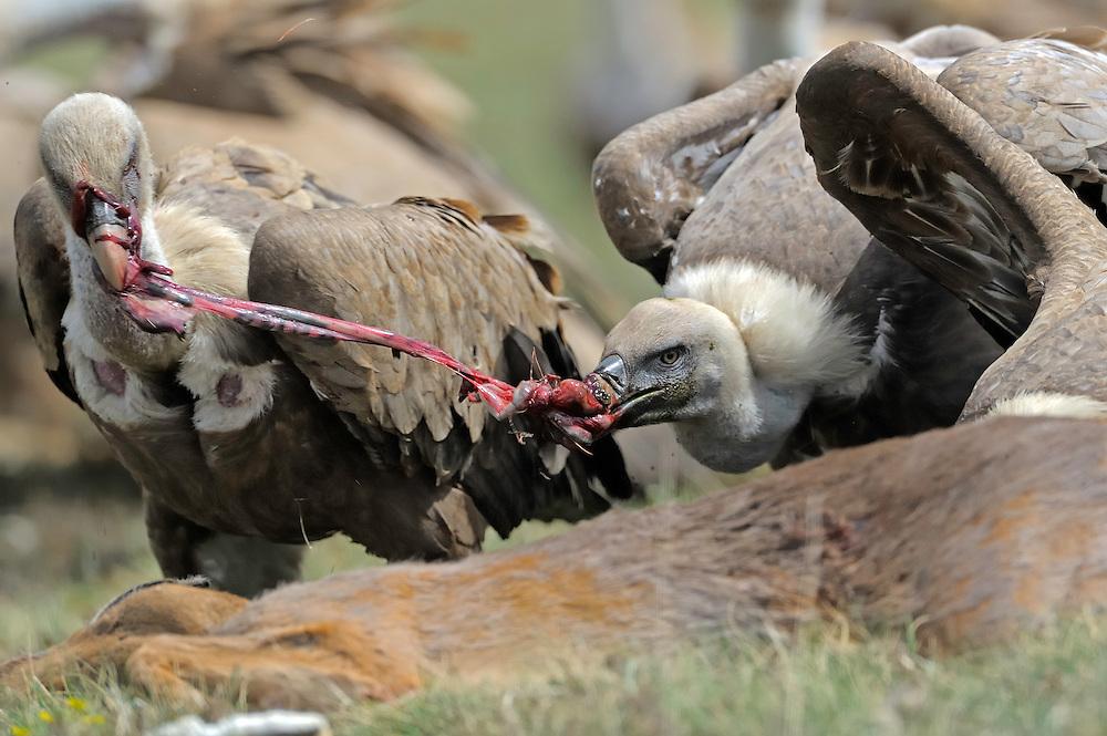 Griffon vulture; Gyps fulvus feeding on Roe deer, Canillo, Andorra