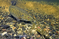 Smallmouth Bass (male guarding nest with eggs)<br />