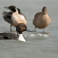 three pintail ducks two drakes one hen, on water