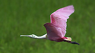 KEVIN BARTRAM/The Daily News.A roseate spoonbill flies over the wetlands near the east end of Seawall Boulevard early Monday morning.