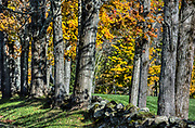 Autumn trees and fieldstone fence, Vermont, USA.