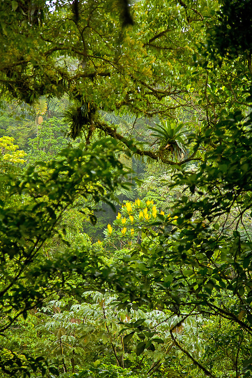 La Fortuna, Alajuela:  Yellow blossoms in the rainforest, Arenal Hanging Bridges.
