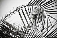 Birds nest in a palm frond. Black and white. Fine art photography print, wall art, nature photography.