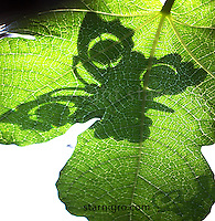 Butterfly Shadow on Fig leaf color digital image by Star Nigro<br /> <br /> <br /> <br /> <br /> ©2019 All artwork is the property of STAR NIGRO.  Reproduction is strictly prohibited.