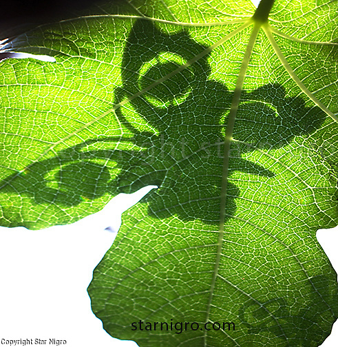 Butterfly Shadow on Fig leaf color digital image by Star Nigro<br />