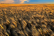 2-Row barleya at sunset<br /> Hodgeville<br /> Saskatchewan<br /> Canada