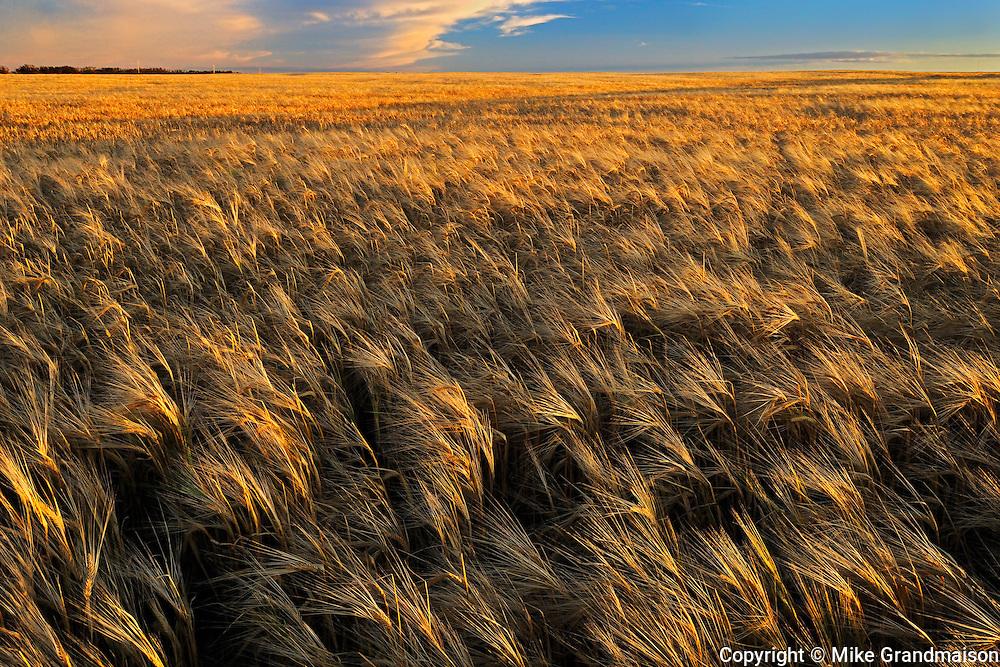 2-Row barleya at sunset<br /> Hodgeville<br /> Saskatchewan<br /> Canada