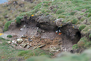 An Atlantic puffin emerges from its burrow on Fair Isle, Scotland.