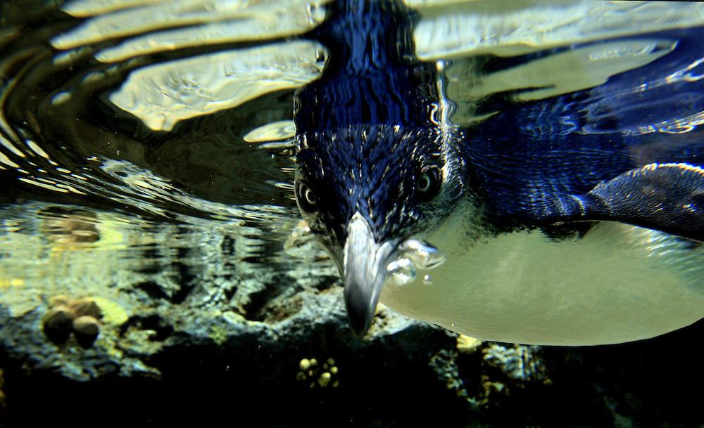 A fairy penguin underwater . (captive).
