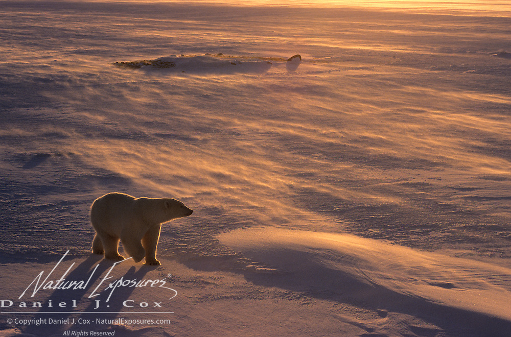 Polar Bear (Ursus maritimus) in Churchill, Manitoba, Canada.
