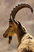 Steinbock am Nakhal Zin Canyon, Sde Boker, Negev, Israel.|.Ibex at Nakhal Zin Canyon, Sde Boker, Negev, Israel.