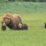 Alaskan Brown Bear, (Ursus middendorffi) Mother and young cubs forging for grass. Katmai National Park. Alaska.