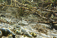 Chinook Salmon (juveniles)<br />
