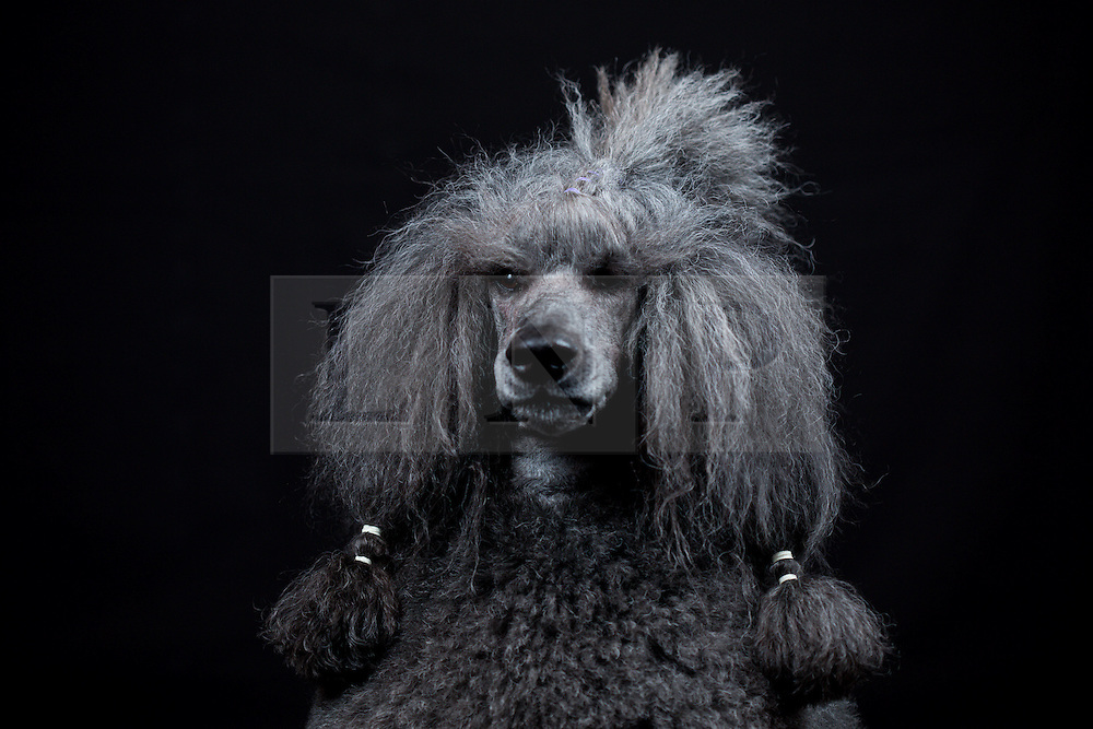 © Licensed to London News Pictures. 11/03/2016. Birmingham, UK. A Standard Poodle named BJ at Crufts 2016 held at the NEC in Birmingham, West Midlands, UK. The world's largest dog show, Crufts is this year celebrating it's 125th anniversary. The annual event is organised and hosted by the Kennel Club and has been running since 1891. Photo credit : Ian Hinchliffe/LNP