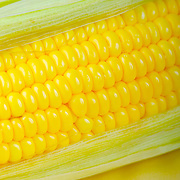 Succulent yellow kernels of corn on the cob