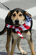 BAR HARBOR, MAINE, July 4, 2014. Even the family pet has dressed up to march in the parade.