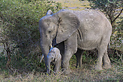 Cow and calf elephant in East African Habitat
