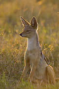 Black-backed Jackal<br /> Canis mesomelas<br /> Adult male at sunset<br /> Masai Mara Triangle, Kenya