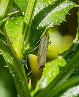 HALFWEG - insecten op de golfbaan , blauwooggrasmot, Amsterdamse Golf Club. (AGC)  . Insecteninventarisatie  COPYRIGHT KOEN SUYK