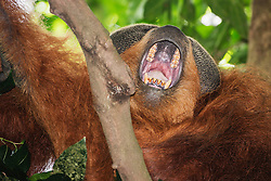 A critically endangered dominant wild male Sumatran orangutan (Pongo abelii) yawns while resting in the cool shade of the forest, Bukit Lawang, Sumatra, Indonesia