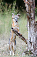 Male Gray Fox standing on his hind legs on an old tree