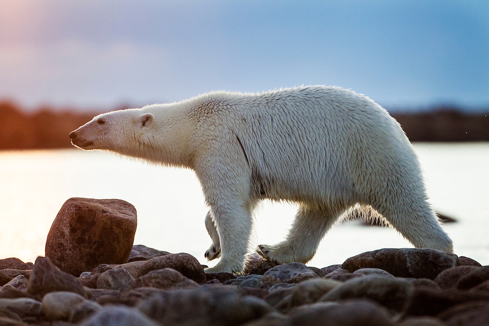 Canada, Manitoba, Polar Bear (Ursus maritimus) walking along rocky shoreline of Hubbart Point along Hudson Bay at sunset on summer evening