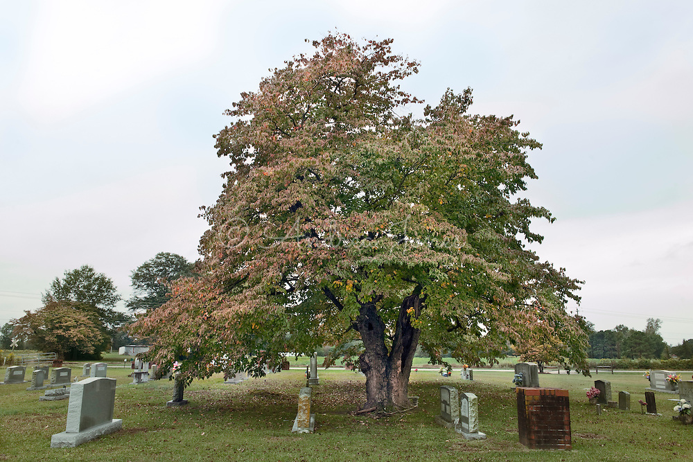 Cornus florida. Clinton Cemetery, Clinton, North Carolina, USA.