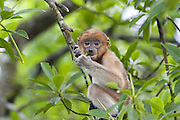 Proboscis Monkey<br /> Nasalis larvatus<br /> 6-8 week old baby<br /> Sabah, Malaysia