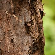 Autumn Maple Tree, Bischofia Javanica Bl., Tainan City, Taiwan