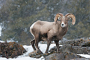 A full curl bighorn ram (Ovis canadensis) pauses while grazing during a late winter snow shower, Yellowstone National Park