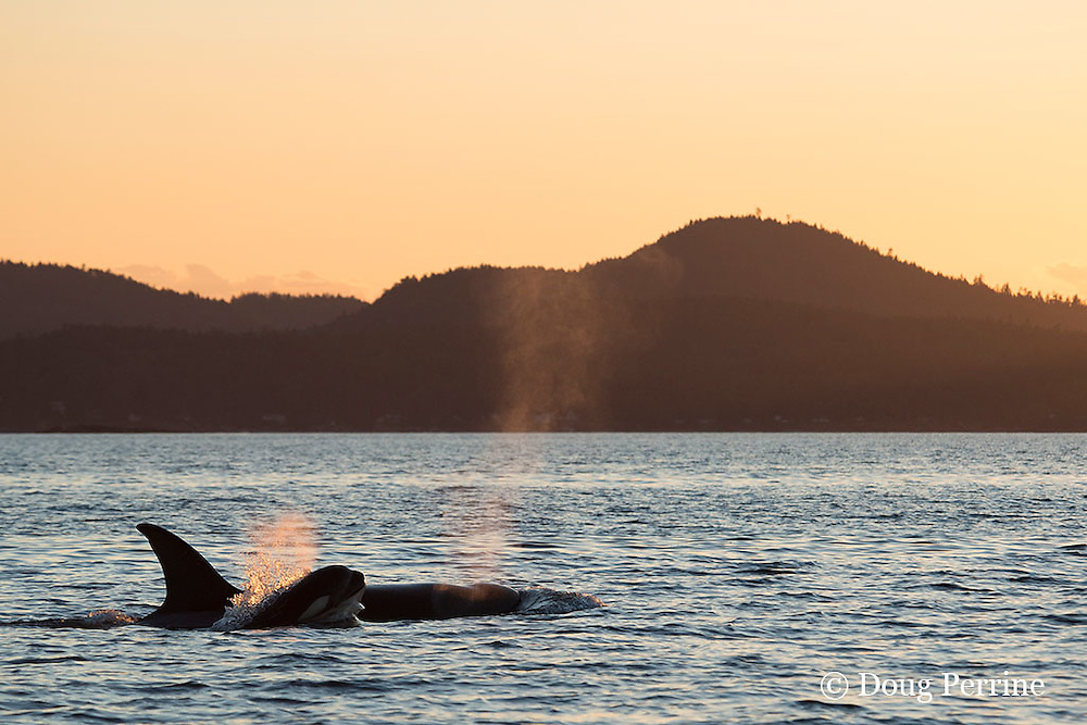 transient orcas or killer whales, Orcinus orca, surfacing and exhaling at sunset, San Juan Islands, Washington, United States