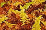 Wood ferns in autumn<br /> Baysville<br /> Ontario<br /> Canada
