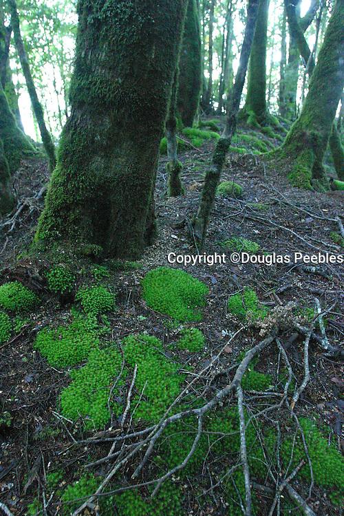 Rainforest, Lake Te Anau, South Island, New Zealand