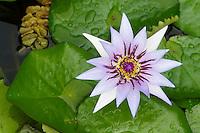 France, Martinique, le Jardin Balata, jardin botanique de plantes tropicales, lotus // France, Martinique, Balata Garden, tropical plant's garden, lotus flower
