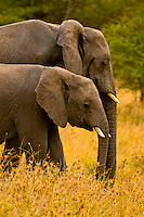A herd of African Elephants, Serengeti National Park, Tanzania