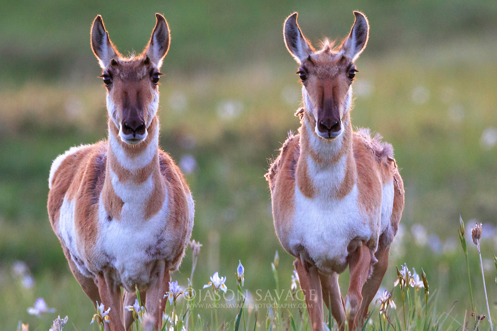 Pronghorn on the Rocky Mountain Front, Montana