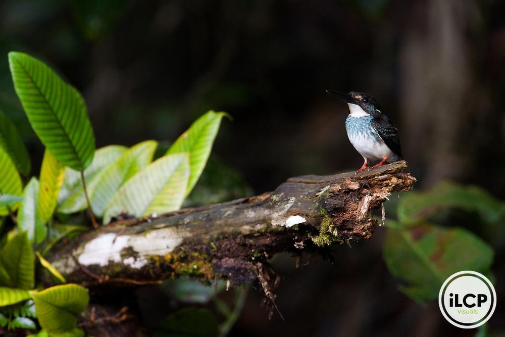 Blue-banded Kingfisher (Alcedo euryzona) male, Tawau Hills Park, Sabah, Borneo, Malaysia